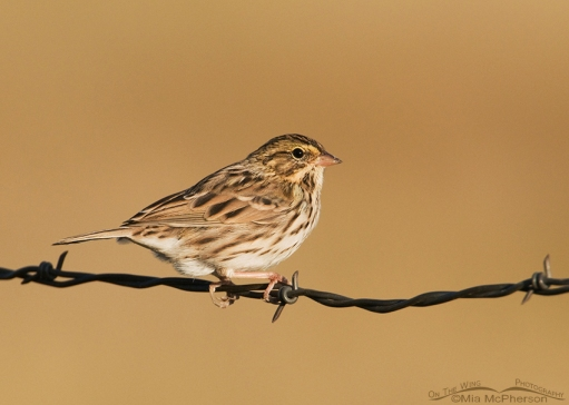 Savannah Sparrow perched on barbed wire